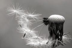 Dente-de-leão preto e branco Fotos de Stock Royalty Free