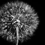 Dente-de-leão preto e branco Fotografia de Stock Royalty Free