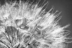 Dente-de-leão preto e branco na luz solar Imagens de Stock
