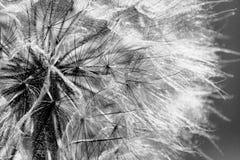 Dente-de-leão preto e branco na luz solar Fotos de Stock Royalty Free