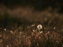 Dente-de-leão retroiluminado Imagem de Stock Royalty Free