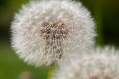 Dente-de-le?o, taraxacum, dente-de-le?o das sementes, espalhando as sementes pelo vento, vento, sopro do vento, branco, prado imagens de stock royalty free