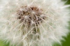 Dente-de-le?o, taraxacum, dente-de-le?o das sementes, espalhando as sementes pelo vento, vento, sopro do vento, branco foto de stock royalty free