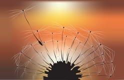 Dente-de-leão e fundo do por do sol Fotos de Stock Royalty Free