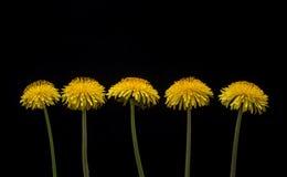 Dente-de-leão entre flores Foto de Stock