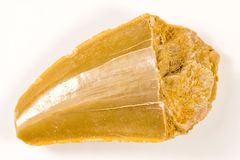 Dente del dinosauro, fossile, primo piano fotografie stock libere da diritti