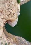 Dente del drago Fotografia Stock Libera da Diritti