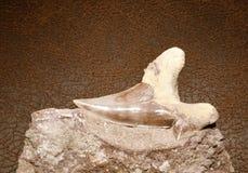 Dente dello squalo Immagine Stock Libera da Diritti