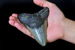 Dente dello squalo di Megalodon immagini stock libere da diritti
