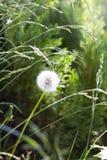Dente di leone al sole in un campo fra erba verde Immagine Stock