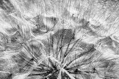 Dente di leone in bianco e nero alla luce solare Immagini Stock Libere da Diritti