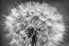 Dente di leone in bianco e nero alla luce solare Fotografia Stock Libera da Diritti