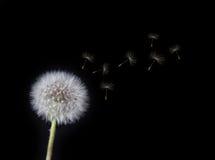 Dente di leone che slaccia i semi nel vento Fotografia Stock Libera da Diritti