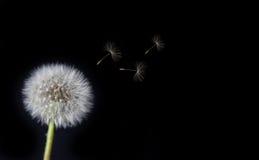Dente di leone che slaccia i semi nel vento Immagini Stock