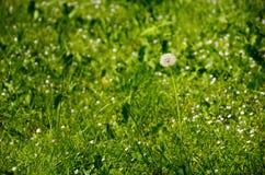 Dente di leone contro il fondo di verde di erba di estate Fotografia Stock Libera da Diritti