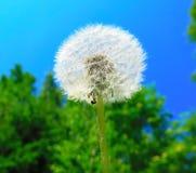 Dente di leone dell'aria del fiore di estate, palla lanuginosa fotografie stock libere da diritti