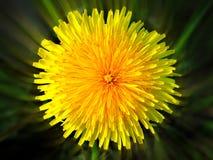 Dente di leone Dente di leone giallo fotografia stock libera da diritti