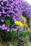 Dente di leone di fioritura sui bei precedenti viola della primula Immagine Stock