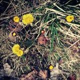 Dente di leone di giallo del fiore di Hestehov Immagine Stock Libera da Diritti
