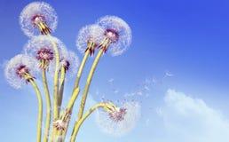 Dente di leone esagerato con i semi che volano via con il vento Fotografie Stock Libere da Diritti