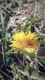Dente di leone giallo Fotografia Stock Libera da Diritti