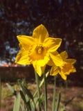 dente di leone giallo che sta fine alta sulla natura della molla del fiore Fotografia Stock