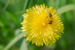 Dente di leone giallo con un'ape del miele Immagine Stock