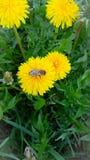 Dente di leone giallo con una vespa, primo piano immagini stock libere da diritti