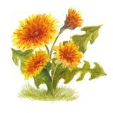 Dente di leone giallo lanuginoso illustrazione vettoriale