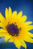 Dente di leone giallo messo contro fondo blu Fotografia Stock Libera da Diritti