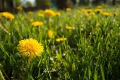 Dente di leone giallo nell'erba fotografia stock