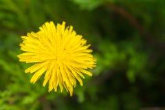 Dente di leone giallo su erba verde Immagini Stock