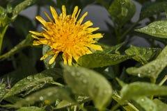 Dente di leone giallo in un'erba Fotografia Stock Libera da Diritti