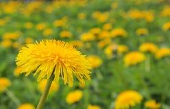 Dente di leone luminoso e soleggiato del fiore Immagini Stock
