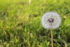 Dente di leone rotondo soleggiato sui precedenti di erba verde fotografia stock