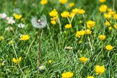 Dente di leone secco con i wildflowers gialli Immagini Stock Libere da Diritti