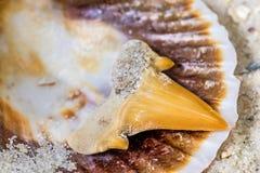 Dente do tubarão Fotografia de Stock Royalty Free