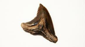 Dente do tubarão Imagens de Stock