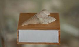 Dente fossilizado do tubarão em um suporte de madeira com um lugar para o texto fotografia de stock royalty free