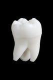 Dente humano Foto de Stock Royalty Free