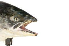 Dentelez la fin saumonée de tête vers le haut d'isolement sur le blanc Photographie stock libre de droits