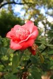 Dentelez la fleur de Camelia image libre de droits