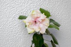 Dentelez la fleur de ketmie Image libre de droits