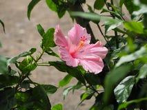 Dentelez la fleur de ketmie Photos libres de droits