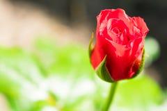 Dentelez le bourgeon de Rose Rose non-ouverte dans le jardin image libre de droits