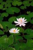 Dentelez le lotus Photographie stock