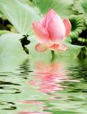 Dentelez le lotus Images libres de droits