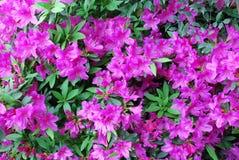Dentelez les fleurs d'azalée de pêche Images stock
