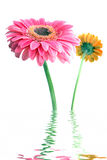 Dentelez les fleurs dans l'eau image libre de droits