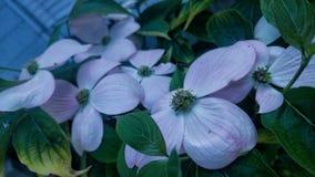 Dentelez les fleurs de cornouiller Image stock